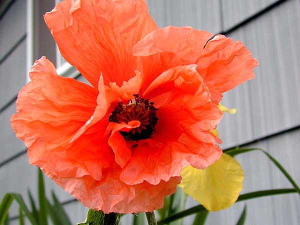 (poppy flower tattoo - Google ) tractor tattoo